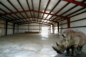 Photo of interior of a steel building with a rhino standing in the foreground.