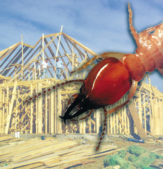 Image of termite superimposed over wood framed house under construction.