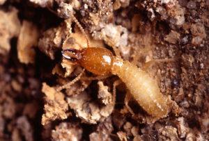 Close-up photo of a creepy crawly termite.